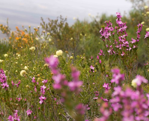 Flower field Stirling Ranges