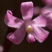 Hyacinth Orchid | Dipodium roseum