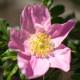 Rose_web2