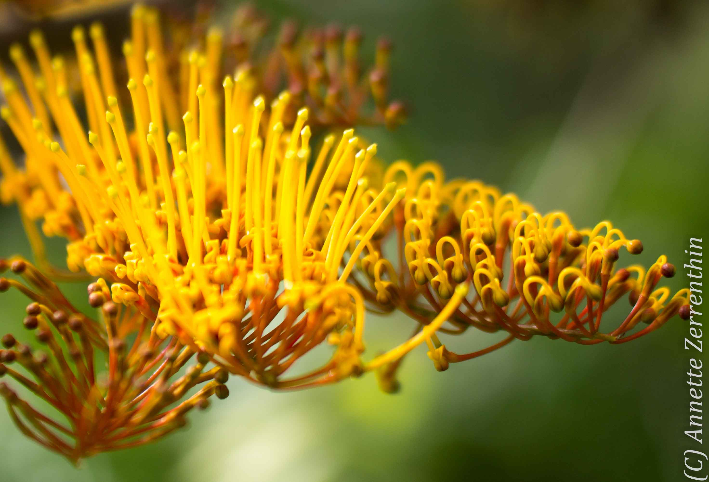 Flower of life kinesiology grevillea of boldness strength and just before coming into full bloom grevilleas pictured silky oak grevillea robusta flower stamens are curled in symbolizing a contraction something that mightylinksfo